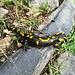 Monti di Liscione : salamandra