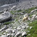 Lamm beim Aufstieg zum Drachenkopf
