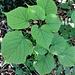 Tilia cordata Mill.<br />Malvaceae<br /><br />Tiglio selvatico, Tiglio montano<br />Tilleuil à petites feuilles<br />Winter-Linde<br />