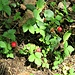 Duchesnea indica (Andrews) Focke<br />Rosaceae<br /><br />Fragola matta<br />Fraisier des Indes<br />Scheinerdbeere, Indische Erdbeere