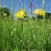 Anthyllis vulneraria L. subsp. vulneraria<br />Fabaceae<br /><br />Antillide vulneraria<br />Anthyllide vulnéraire<br />Gewöhnlicher Wundklee<br />
