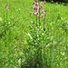 Dictamnus albus L.<br />Rutaceae<br /><br />Dittamo, Frassinella<br />Fraxinelle, Dictame blanc<br />Weisser Diptam