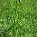Plantago media L.<br />Plantaginaceae<br /><br />Piantaggine pelosa<br />Plantain moyen<br />Mittlerer Wegerich