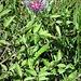 Cyanus triumfettii (All.) Dostàl<br />Asteraceae<br /><br />Fiordaliso di Trionfetti<br /><br />Filz-Flockenblume