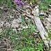 Polygala comosa Schkuhr<br />Polygalaceae<br /><br />Poligala chiomata<br />Polygale à toupet<br />Schopfge Kreuzblume