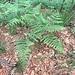 Pteridium aquilinum (L.) Kuhn<br />Dennstaedtiaceae<br /><br />Felce aquilina<br />Fougère aigle<br />Adlerfarn