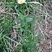 Leucanthemum vulgare Lam.<br />Asteraceae<br /><br />Margherita<br />Marguerite<br />Gewöhnliche Wiesen-Margerite
