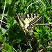 At the summit of the mountain there were quite a few of these big butterflies. It is this the one called Schwalbenschwanz in German (Papilio machaon).