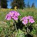 sehr viele Bergblumen sind am blühen, wahrscheinlich Alpen-Nelken