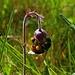 Hummel mit Pollenhöschen an einer Bach-Nelkenwurz (Geum rivale) / Bombo con mutandine di polline