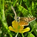 Lycaena tityrus (Brauner Feuerfalter) (Vielen Dank an meine Spezialisten:-))<br /><br />Die Bläulinge (Lycaenidae) sind eine Familie der Schmetterlinge (Tagfalter). Sie kommen weltweit mit ca. 5200 Arten in 416 Gattungen (Stand: 2011) vor. (Wikipedia) <br /><br />Ne esistono circa 5200 specie in 416 generi in tutto il mondo.