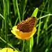 Badet in der Blume.. / si immerge in un fiore