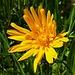 Wiesen-Bocksbart (Tragopogon pratensis), schließt mittags seine Blüten und sieht dann aus wie ein Bocksbart. / A mezzogiorno chiude il suo fiore. Da cui il nome tedesco: barba di caprone