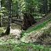 immer wieder umgefalle Bäume von enormer Größe