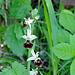 Nochmals Orchis Incognita - evtl. Fliegen-Ragwurz? (Foto vom 21.05.2020)