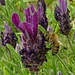 Schopf-Lavendel, Lavandula stoechas mit Biene. In der Vergrößerung sieht man, das Foto und besonders die Biene könnten schärfer sein:-(<br />So viel zur Betrachtung der Fotos in Originalgröße und Vergrößerung!<br /><br />Nell'ingrandimento della foto si può vedere che soprattutto l'ape potrebbe essere più nitida :-(
