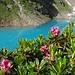 Alpenrosen und der unglaublich blaue Nidersee