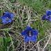 Blaue Enziane kennen wir...