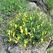 Inedito bouquet di  profumate ginestre