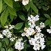 Rosa multiflora Thunb.<br />Rosaceae<br /><br />Rosa multiflora<br />Rosier à fleurs nomreuses<br />Vielblütige Rose