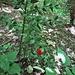Ruscus aculeatus L.<br />Asparagaceae<br /><br />Ruscolo pungitopo, Pungitopo<br />Petit houx, Fragon piquant<br />Mäusedorn