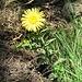 Inula hirta L.<br />Asteraceae<br /><br />Enula scabra<br />Inule hérissée<br />Rauer Alant
