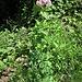 Thalictrum aquilegifolium L.<br />Ranunculaceae<br /><br />Pigamo colombino<br />Pigamon à feuilles d'ancolie<br />Akeleblättrige Wiesenraute