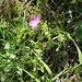 Geranium sanguineum L.<br />Geraniaceae<br /><br />Geranio sanguigno<br />Géranium sanguin<br />Blutroter Storchschnabel
