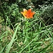 Lilium bulbiferum subsp. croceum (Chaix) Baker<br />Liliaceae<br /><br />Giglio bulbifero<br />Lis safrané<br />Bulbillenlose Feuerlilie