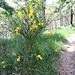 Cytisus scoparius (L.) Link<br />Fabaceae<br /><br />Citiso scopario, Ginestra dei carbonai<br />Genet à balais, Citise à balais<br />Besenginster