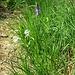 Anthericum liliago L.<br />Asparagaceae<br /><br />Lilioasfodelo maggiore<br />Anthéric à fleur de lys<br />Astlose Grasslilie<br /><br />Phyteuma scorzonerifolium Vill.<br />Campanulaceae<br /><br />Raponzolo a foglie di scorzonera<br />Raiponce à feullles de scorsonère<br />Schwarzwurzerblättrige Rapunzel