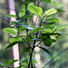 Der Weg ist in diesem Abschnitt angelegt als Naturlehrpfad mit informativen Tafeln zur hiesigen Botanik. Vieles davon lesen wir aufmerksam, anderes wissen wir schon. Neu für uns war z.B. der hier abgebildete Faulbaum.
