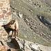 Ein Steinbock bei der Weissmieshütte. Die Hausmauer scheint besonders lecker zu sein