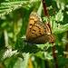 Blauschillernder Feuerfalter (Lycaena helle)
