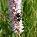 Wildbiene: Graue Sandbiene (Andrena cineraria) auf Schlangen-Knöterich (Bistorta officinalis)