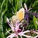 Kleines Wiesenvögelchen (Coenonympha pamphilus) auf einer  Kuckucks-Lichtnelke (Silene flos-cuculi )