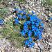 leuchtendes Büschel von Frühlingsenzianen