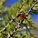 Europäische Lärche (Larix decidua) mit Blüten: Der rote Zapfen ist die weibliche Blüte, wogegen die kleinen beigen Knollen die unauffälligen männlichen Blüten sind.