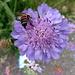 Witwenblume, passend zum Standort an der Friedhofsböschung ;-)