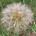 Eine Riesenpusteblume