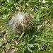 Ein kleineres der unzähligen Raupenknäuel. Vielleicht Alpen-Ringelspinner?