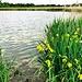 Truhensee mit Sumpf-Schwertlilien