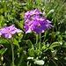 gegen den Schluss hin zeigen sich die Alpenblumen nochmals in grosser Form ...