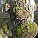 Ein von Bakterien hervorgerufener Baumkrebs