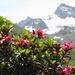 Alpenrosen vor den Silvretta-Bergen...