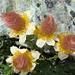 Filigrane Kunstwerke der Natur: Kriechender Nelkenwurz (Geum reptans) am Verblühen.