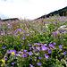 Blumenwiese auf St. Margrethenberg