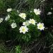 Schöne Blumen auf dem Gipfel!<br />Alpen-Kuhschelle (Pulsatilla alpina).