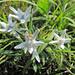Una piacevole sorpresa! Stelle alpine (Leontopodium alpinum come suggerisce Helis!)