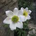 Pulsatilla: è un genere di piante erbacee perenni appartenente alla famiglia delle Ranunculaceae. Nella medicina omeopatica la pulsatilla viene indicata nel caso di depressione, nella cistite, nei disturbi gastrici, nell'otite e nei disturbi del sonno
